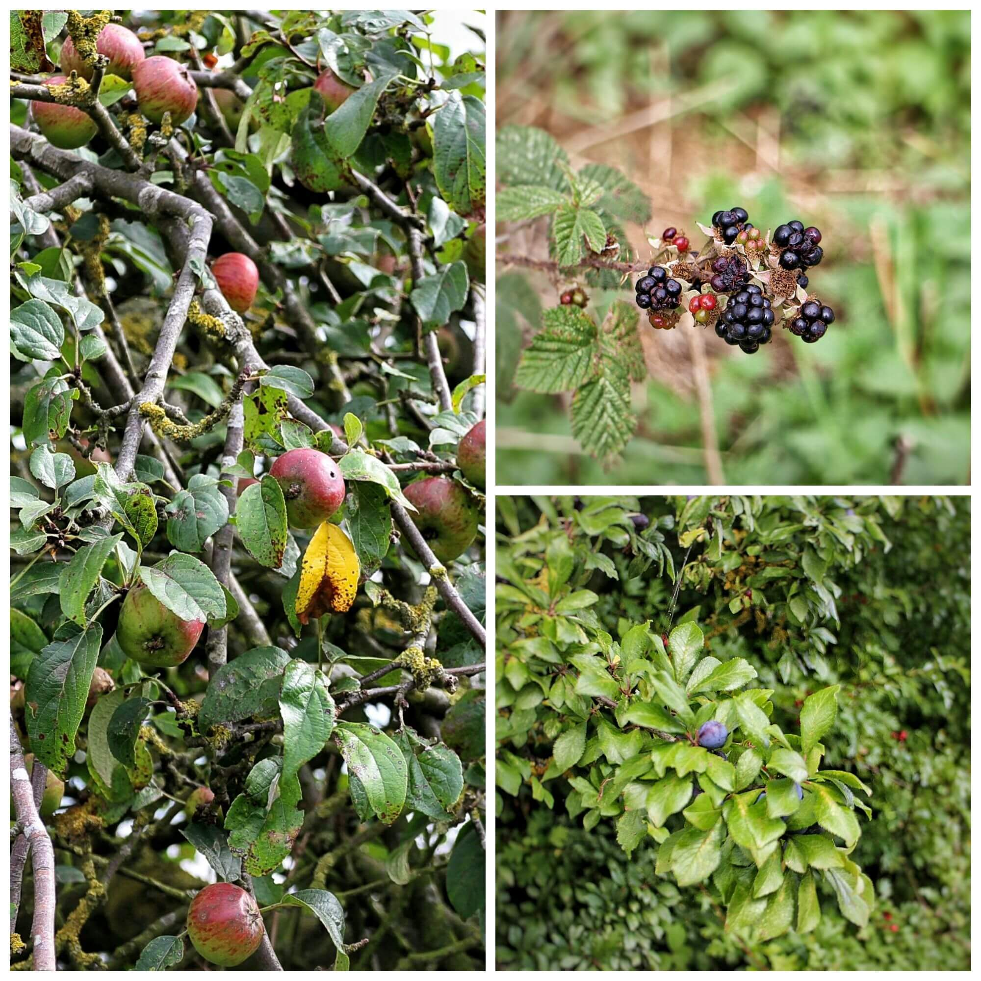 I headed out this week and managed to find blackberries, plums, sloes and apples
