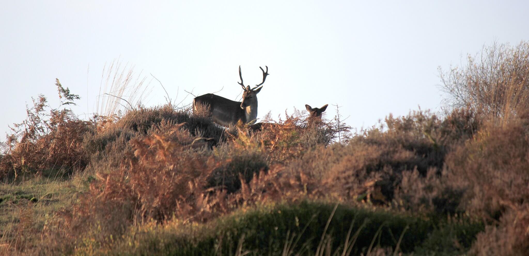 Deers on Cannock Chase